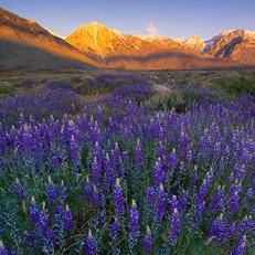 Lupines, Eastern Sierras