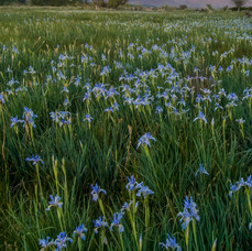 Lilacs, Eastern Sierras