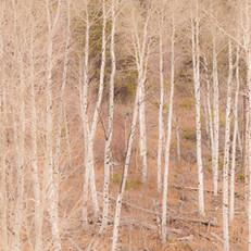 Cottonwoods, Zion