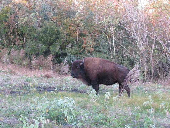 Louisiana Bison