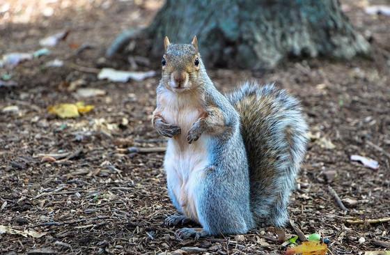 Louisiana Squirrels