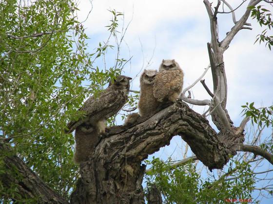 Tiger Owls