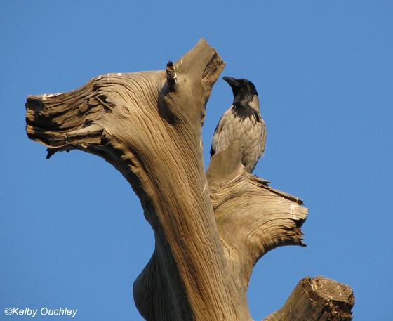 Crow Concerns