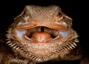 031-echsen-chameleons-geckos-krokodile-andy-hunger.jpg