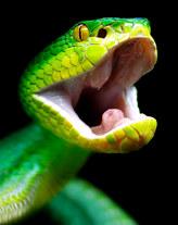 041-schlangenfotos-giftschlangenfotos-reptilienfotos-andyhunger.jpg