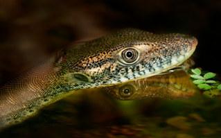 016-echsen-chameleons-geckos-krokodile-andy-hunger.jpg