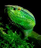 049-schlangenfotos-giftschlangenfotos-reptilienfotos-andyhunger.jpg