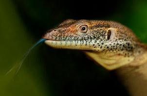 015-echsen-chameleons-geckos-krokodile-andy-hunger.jpg