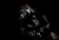 005-säugetiere-affen-raubkatzen-gorillas-tierfotos-andyhunger