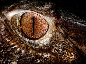 009-echsen-chameleons-geckos-krokodile-andy-hunger.jpg