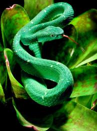 057-schlangenfotos-giftschlangenfotos-reptilienfotos-andyhunger.jpg