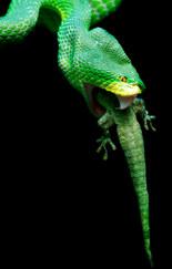 040-schlangenfotos-giftschlangenfotos-reptilienfotos-andyhunger.jpg