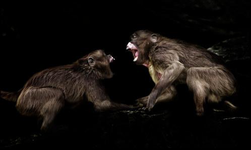 025-säugetiere-affen-raubkatzen-gorillas-tierfotos-andyhunger.jpg