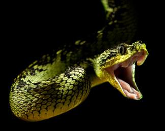 011-schlangenfotos-giftschlangenfotos-reptilienfotos-andyhunger.jpg