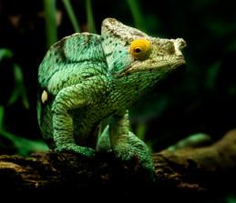 002-echsen-chameleons-geckos-krokodile-andy-hunger.jpg