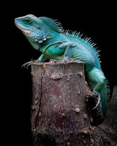 021-echsen-chameleons-geckos-krokodile-andy-hunger.jpg