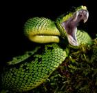 014-schlangenfotos-giftschlangenfotos-reptilienfotos-andyhunger.jpg