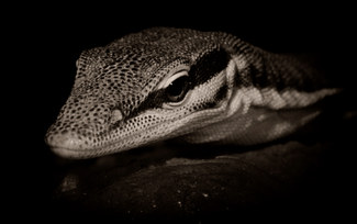 047-echsen-chameleons-geckos-krokodile-andy-hunger.jpg