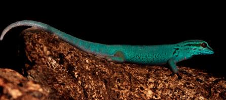 037-echsen-chameleons-geckos-krokodile-andy-hunger.jpg