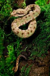 028-schlangenfotos-giftschlangenfotos-reptilienfotos-andyhunger.jpg