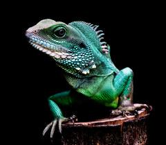 020-echsen-chameleons-geckos-krokodile-andy-hunger.jpg