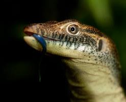 017-echsen-chameleons-geckos-krokodile-andy-hunger.jpg