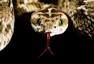 001-schlangenfotos-giftschlangenfotos-reptilienfotos-andyhunger.jpg