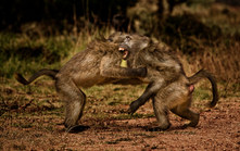 024-säugetiere-affen-raubkatzen-gorillas-tierfotos-andyhunger.jpg
