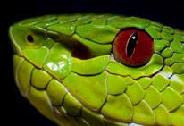 044-schlangenfotos-giftschlangenfotos-reptilienfotos-andyhunger.jpg