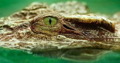 010-echsen-chameleons-geckos-krokodile-andy-hunger.jpg