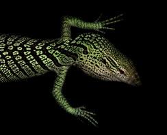 045-echsen-chameleons-geckos-krokodile-andy-hunger.jpg
