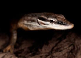 044-echsen-chameleons-geckos-krokodile-andy-hunger.jpg