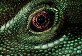 022-echsen-chameleons-geckos-krokodile-andy-hunger.jpg