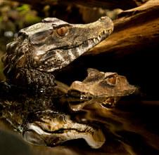 006-echsen-chameleons-geckos-krokodile-andy-hunger.jpg