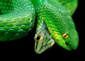 038-schlangenfotos-giftschlangenfotos-reptilienfotos-andyhunger.jpg