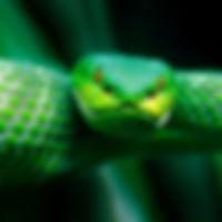 037-schlangenfotos-giftschlangenfotos-re