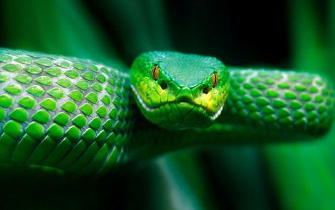 037-schlangenfotos-giftschlangenfotos-reptilienfotos-andyhunger.jpg