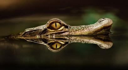 005-echsen-chameleons-geckos-krokodile-andy-hunger.jpg