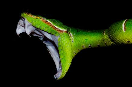 048-schlangenfotos-giftschlangenfotos-reptilienfotos-andyhunger.jpg