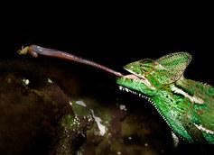 012-echsen-chameleons-geckos-krokodile-andy-hunger.jpg