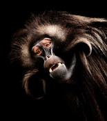 023-säugetiere-affen-raubkatzen-gorillas-tierfotos-andyhunger.jpg