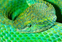 051-schlangenfotos-giftschlangenfotos-reptilienfotos-andyhunger.jpg