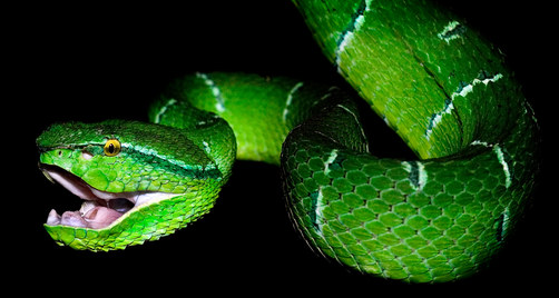 047-schlangenfotos-giftschlangenfotos-reptilienfotos-andyhunger.jpg