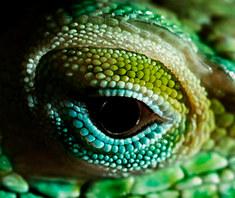 036-echsen-chameleons-geckos-krokodile-andy-hunger.jpg