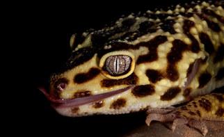 042-echsen-chameleons-geckos-krokodile-andy-hunger.jpg