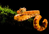 020-schlangenfotos-giftschlangenfotos-reptilienfotos-andyhunger.jpg