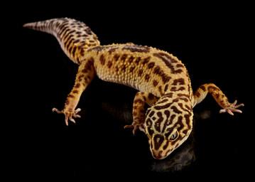 038-echsen-chameleons-geckos-krokodile-andy-hunger.jpg