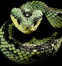 015-schlangenfotos-giftschlangenfotos-reptilienfotos-andyhunger.jpg