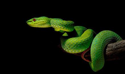 042-schlangenfotos-giftschlangenfotos-reptilienfotos-andyhunger.jpg