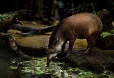 Tapir - Pantanal